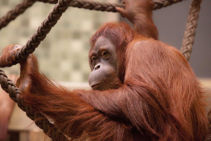 Рисунок 8. Орангутан