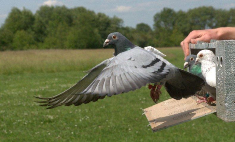 Дрессировка голубей