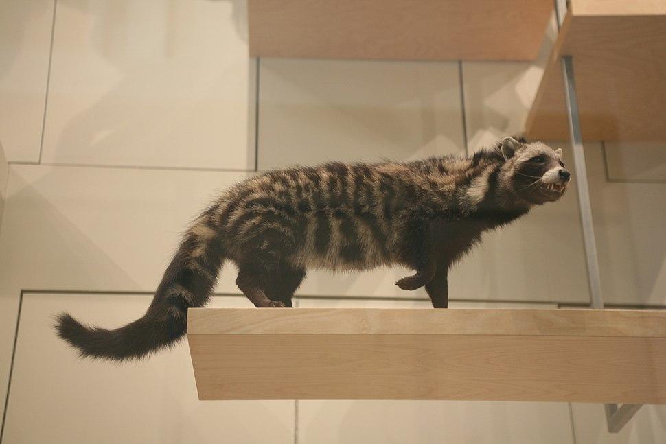 African Civet (Civettictis civetta)