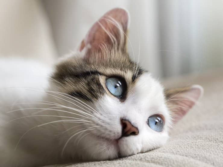Зачем урчат кошки