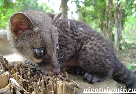 Циветта-животное-Образ-жизни-и-среда-обитания-циветты-8