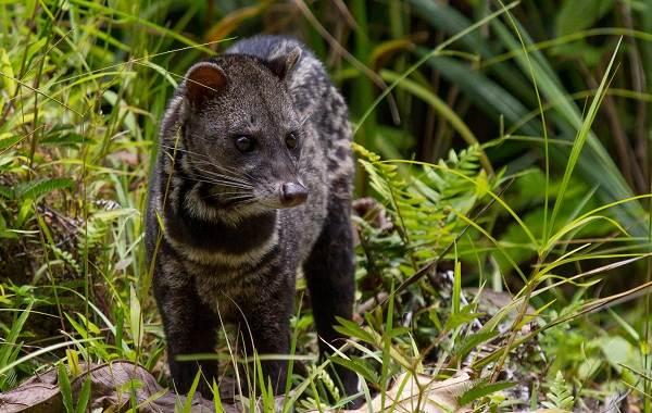 Циветта-животное-Описание-особенности-виды-образ-жизни-и-среда-обитания-циветты-13