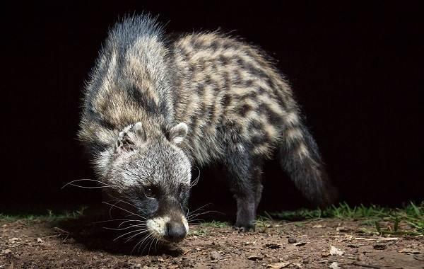 Циветта-животное-Описание-особенности-виды-образ-жизни-и-среда-обитания-циветты-17
