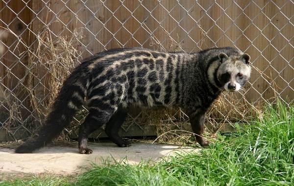 Циветта-животное-Описание-особенности-виды-образ-жизни-и-среда-обитания-циветты-6