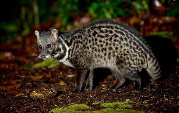 Циветта-животное-Описание-особенности-виды-образ-жизни-и-среда-обитания-циветты-8