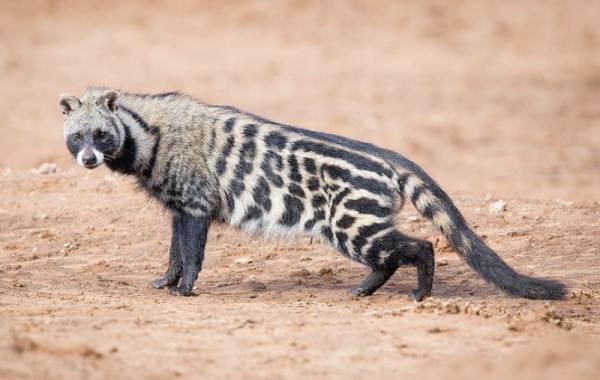 Циветта-животное-Описание-особенности-виды-образ-жизни-и-среда-обитания-циветты-9