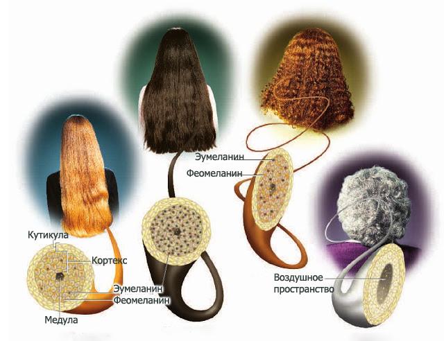 Меланин в структуре волос