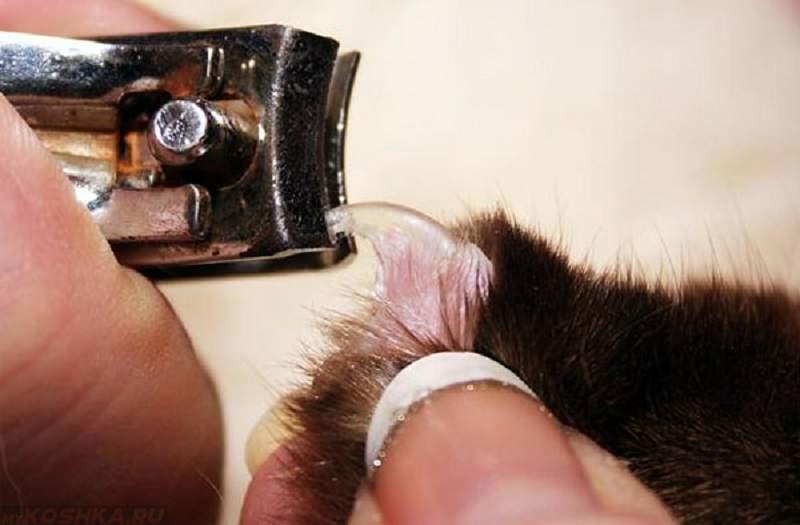 Подрезка когтей коту инструментом