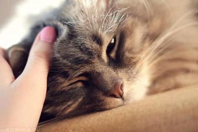 Рука хозяйки и серый пушистый кот